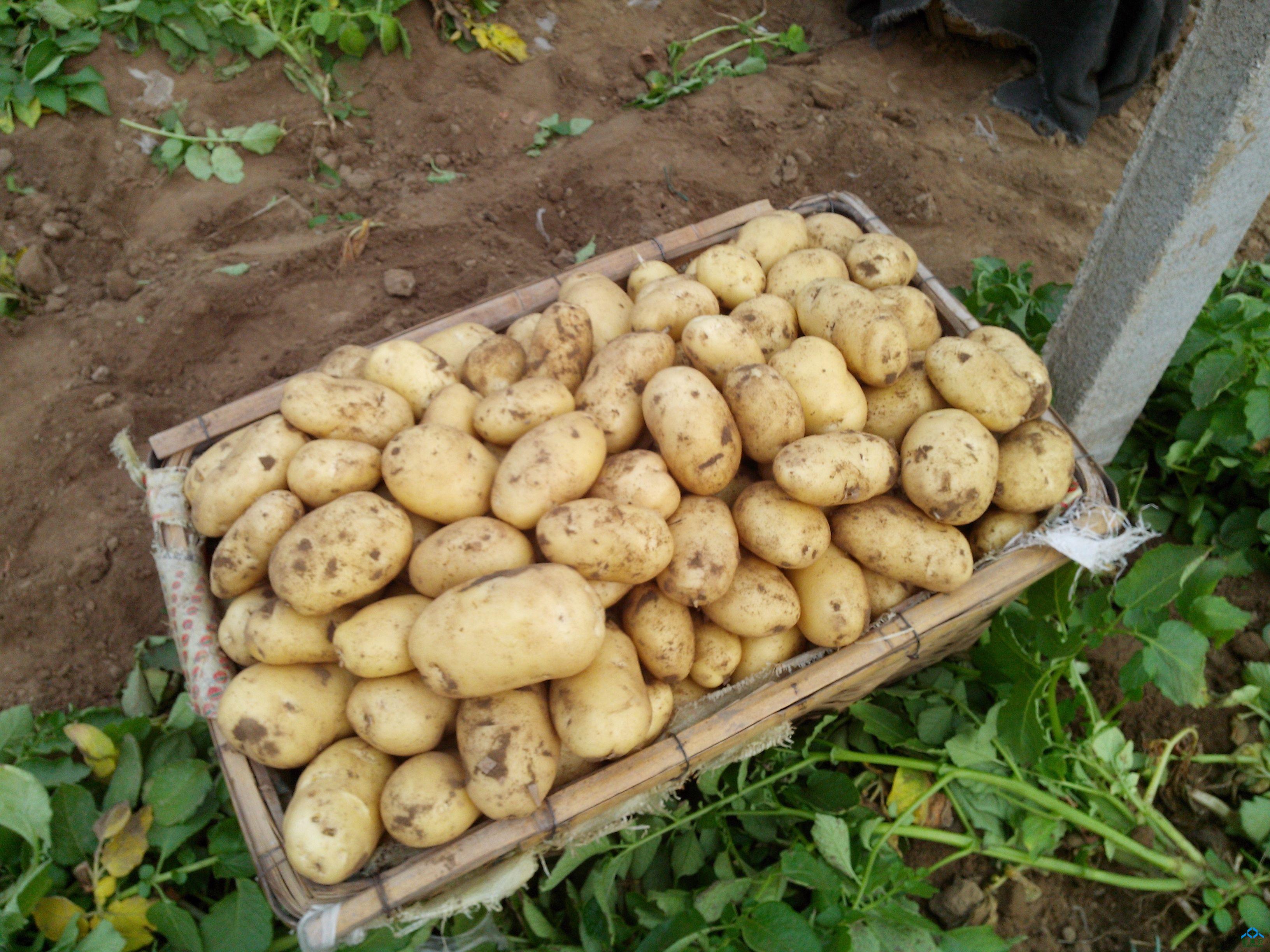 土豆种切块时每种块至少有一芽眼.10~15块/斤为宜