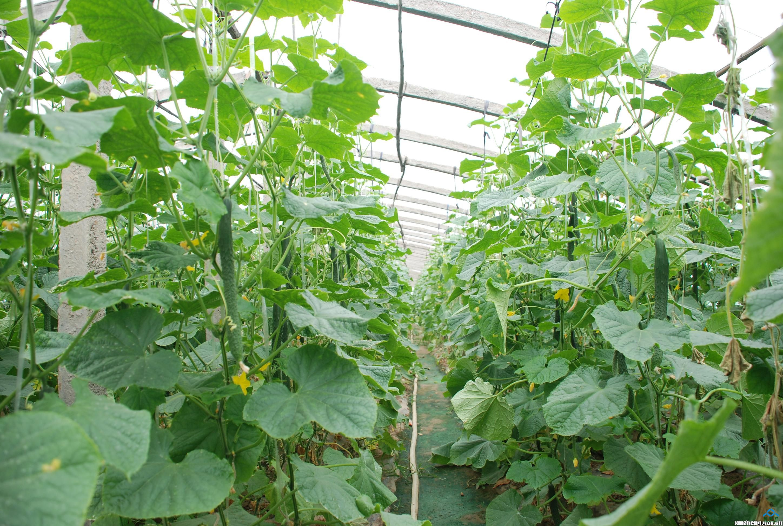 温室大棚黄瓜种植技术